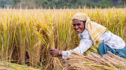 D1EYJ7 Indian women cutting rice plants with a sickle at harvest time. Andhra Pradesh, India